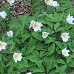 ヤブイチゲ 花の咲く姿
