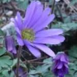 Balkan anemone/ アネモネ・ブランダ