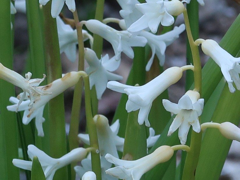 Common hyacinth/ ヒアシンス