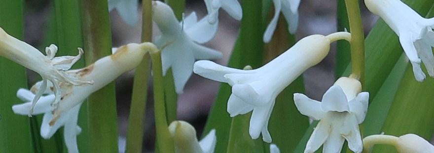 Common hyacinth/ ヒアシンス
