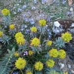 ユーフォルビア・リギダ 花の咲いている様子