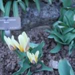 カウフマニアーナチューリップ 花の咲いている様子