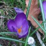 Crocus vernus/ Spring Crocus/ クロッカス 紫の花
