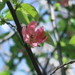 Chinese quince/ カリン