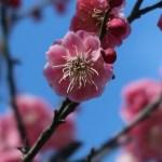 ウメ ピンクの花