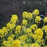ナノハナ 結婚衣装のカップルと菜の花