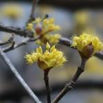 Cornelian cherries/ サンシュユ