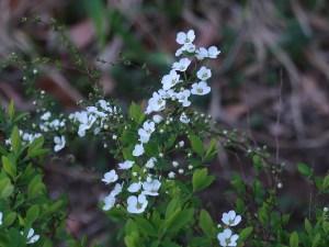 ユキヤナギ 花の咲き始め