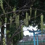 キブシ 花の咲いている様子
