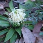 シロバナショウジョウバカマ 花の咲いている様子