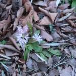 ショウジョウバカマ 花の咲いている様子