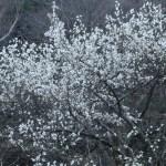コブシ 花の咲いている様子