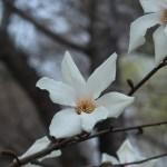 Kobushi magnolia/ コブシ