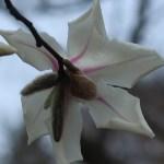 コブシ 花の裏側の様子