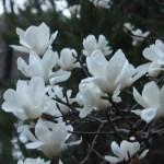 ハクモクレン 花の様子