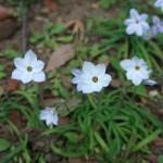 ハナニラ 花の姿