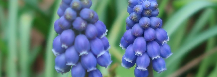 Grape Hyacinth/ ムスカリ
