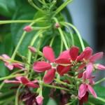 インドシクンシ 花のアップ