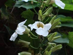 ベンガルヤハズズカズラ 白い花の様子