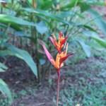 Heliconia psittacorum 花の様子