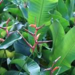 Heliconia orthotricha 花の咲いている様子