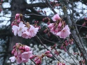 サクラ アーコレード 花の姿