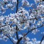 ソメイヨシノ 満開の花の様子