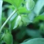 Polygonatum inflatum/ ミドリヨウラク