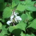 オドリコソウ 花の咲いている様子