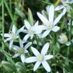 Garden star-of-Bethlehem/ オオアマナ