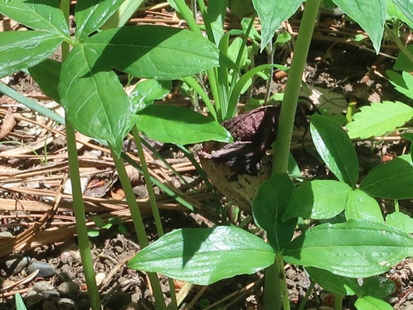 Japanese Cobra Lily/ ウラシマソウ