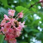 ベニバナトチノキ ミツバチと花のアップ