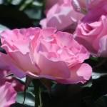バラ モダンローズ ストロベリーアイス