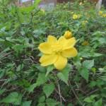 ヤマブキ 花の姿