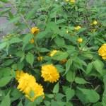 ヤマブキ ヤエヤマブキの花
