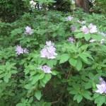 ツツジ 薄紫のツツジ(モチツツジ?)の花の咲いている様子