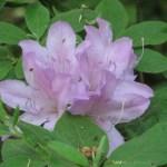 ツツジ 薄紫のツツジの花 モチツツジ?