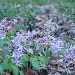 イカリソウ 群れて咲く花の様子