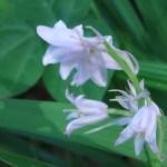 ツリガネズイセン  白花の花の姿