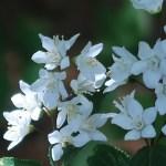 ヒメウツギ 花の姿