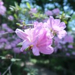 ツツジ モチツツジの花の様子
