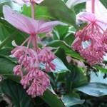 オオバノヤドリノボタン 花の様子