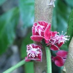 ゴエテア ストリクティフロラ 花の姿