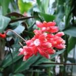 レッドジンジャー 花の姿