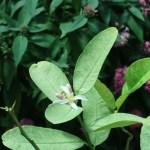 ブッシュカン 花の咲いている様子