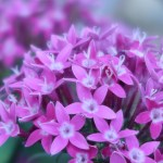 ペンタス 赤紫の花