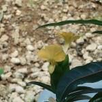 バブレリア ルプリナ 花の様子
