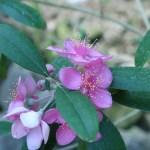 テンニンカ 花の様子