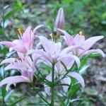 スカシユリ 薄ピンクの花の姿