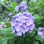 アジサイ アジサイの花